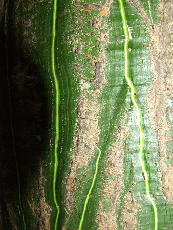 bombaceae-bombax-barrigon-5l.jpg