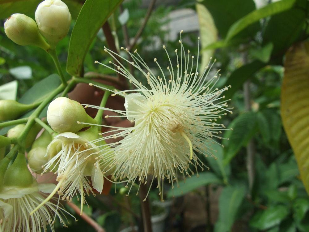syzygium-flower1.jpg