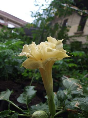 solanaceae-datura-spp.jpg