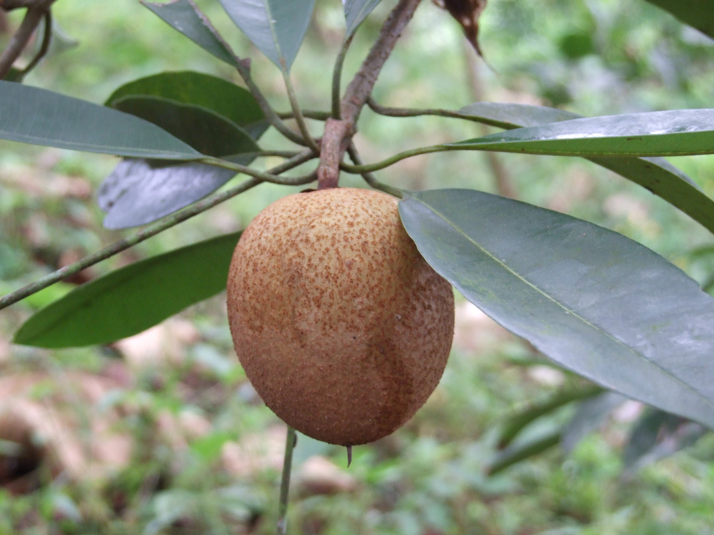indigenous to mexico and central america sapodilla or chico sapote is a traditional food plant of the mayan and aztec cultures and the source of chewing