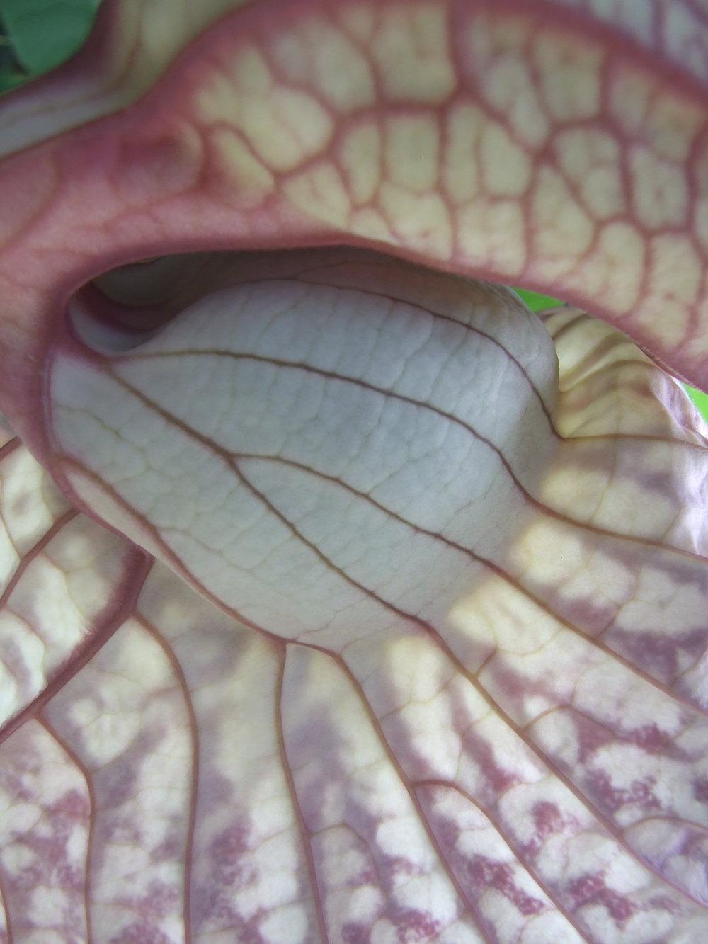 Aristolochia grandiflora detail.