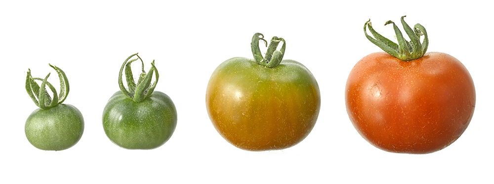 Step by step tomato growth. Photography by  Gary Ombler  for DK.