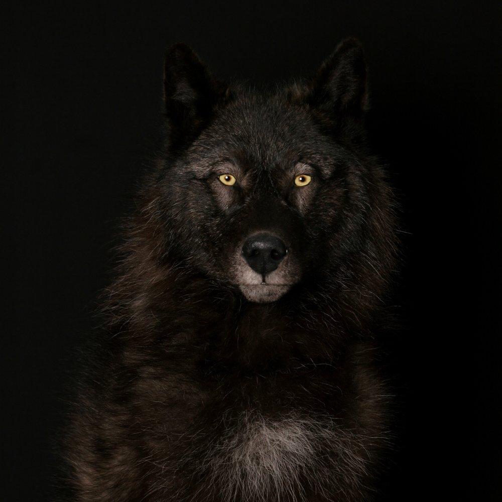 wolf-2.JPG