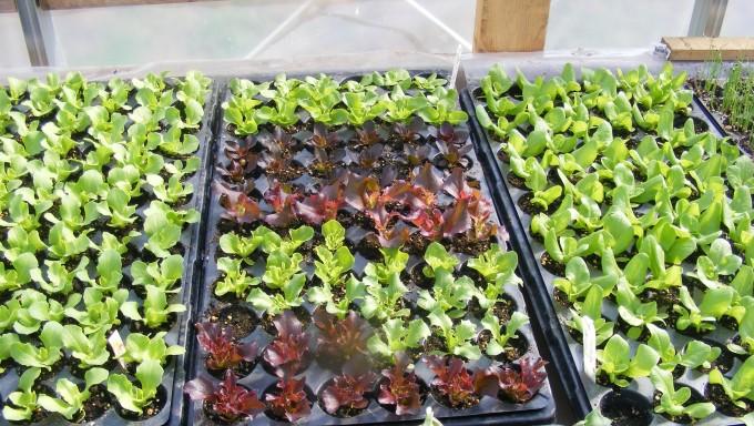 lettuce trays 140513