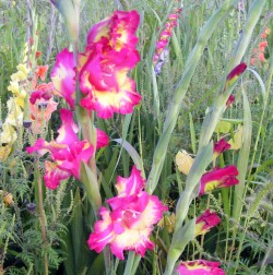 glads in garden