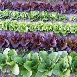 lettuces Aug 25