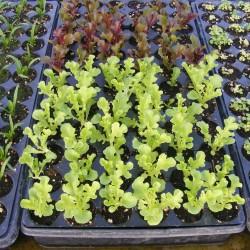 oakleaf lettuces Aug 25