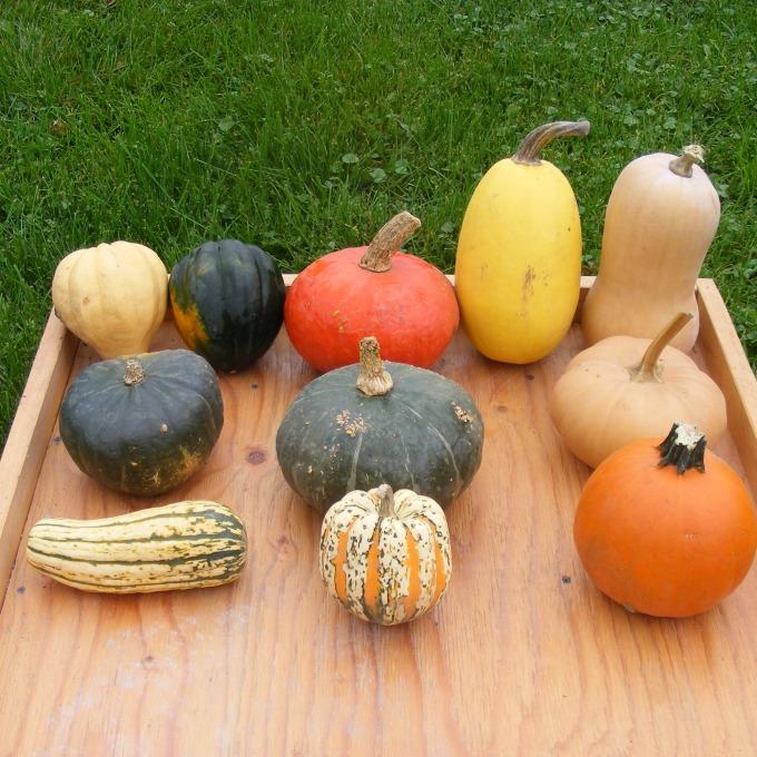 squash varieties square