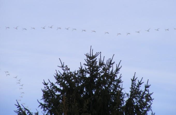 150315 swans over garden