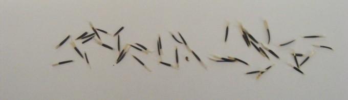 150318 marigold seeds