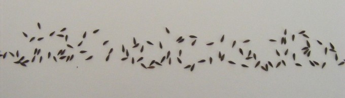 150318 statice seeds