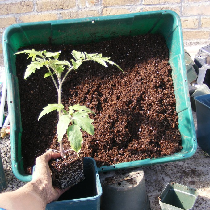 150320 potting up tomatoes