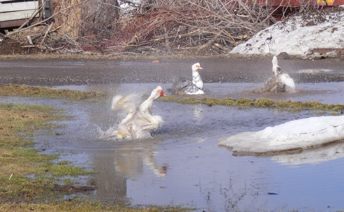150401 ducks cleaning in puddle
