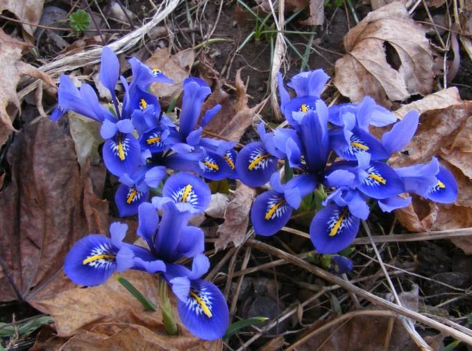 150412 dutch irises