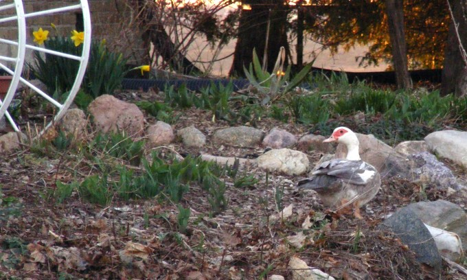 150418 duck in flower bed