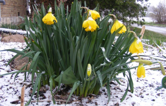 150423 daffodils in snow