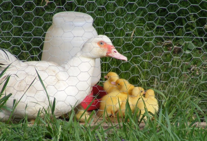150522 duck and ducklings