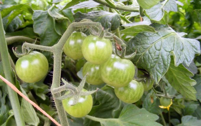 150524 cherry tomato cluster
