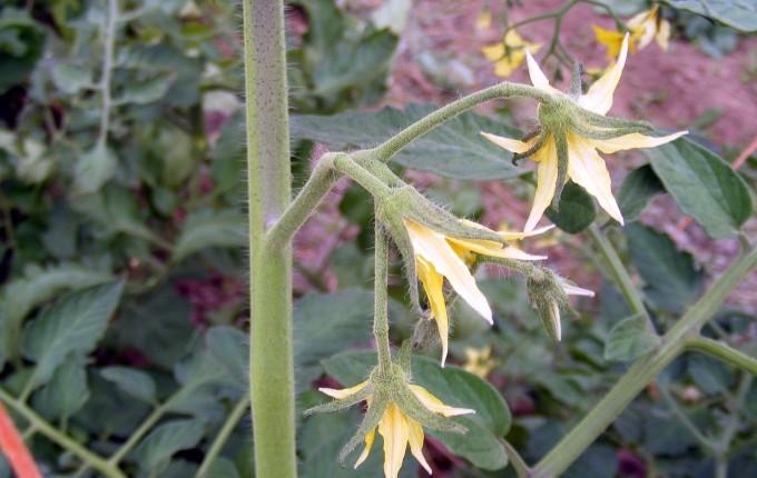 150524 tomato flower cluster