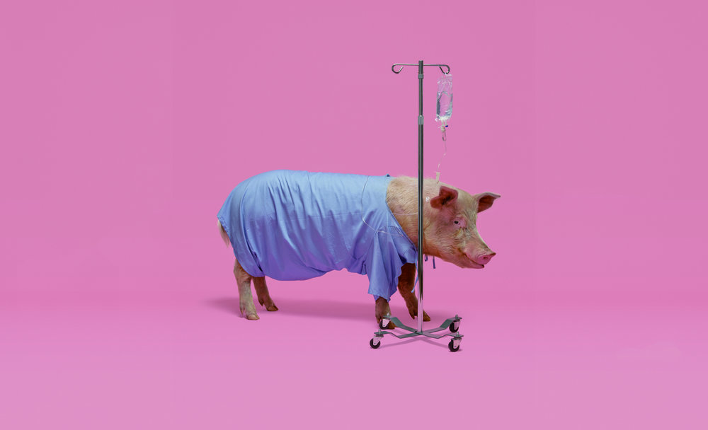 20 Americans Die Each Day Waiting for Organs. Can Pigs Save Them? The New York Times Magazine. Concept by Delcan & Company. Photographed by Jamie Chung. Prop Styling by Pink Sparrow.