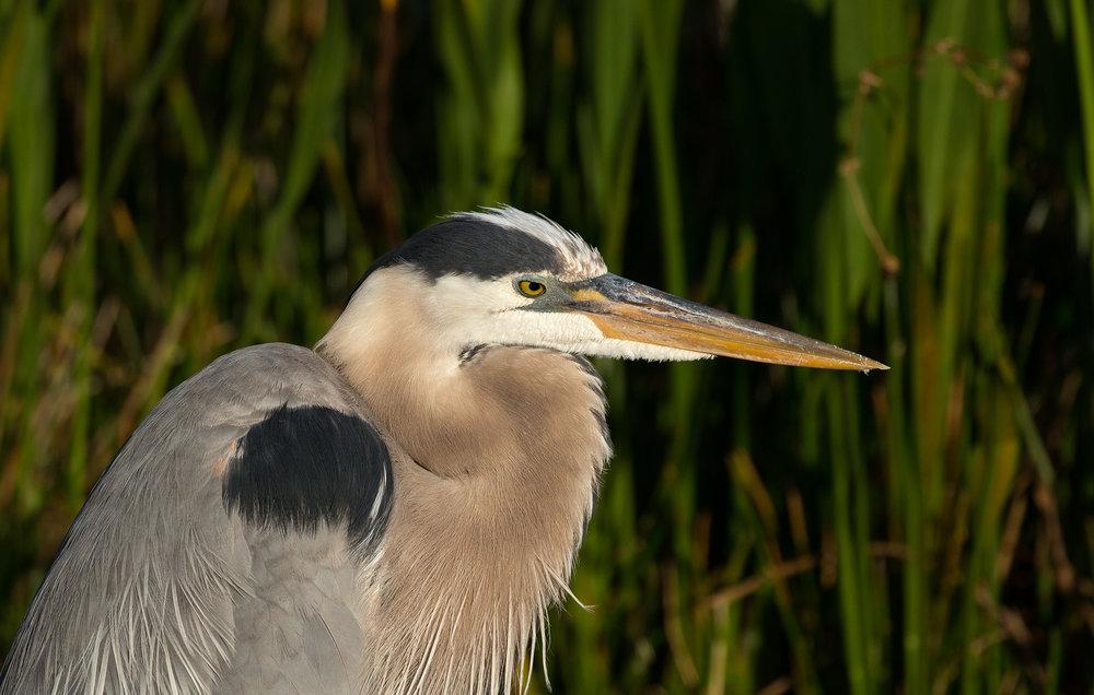 Adult (blue form) Great Blue Heron