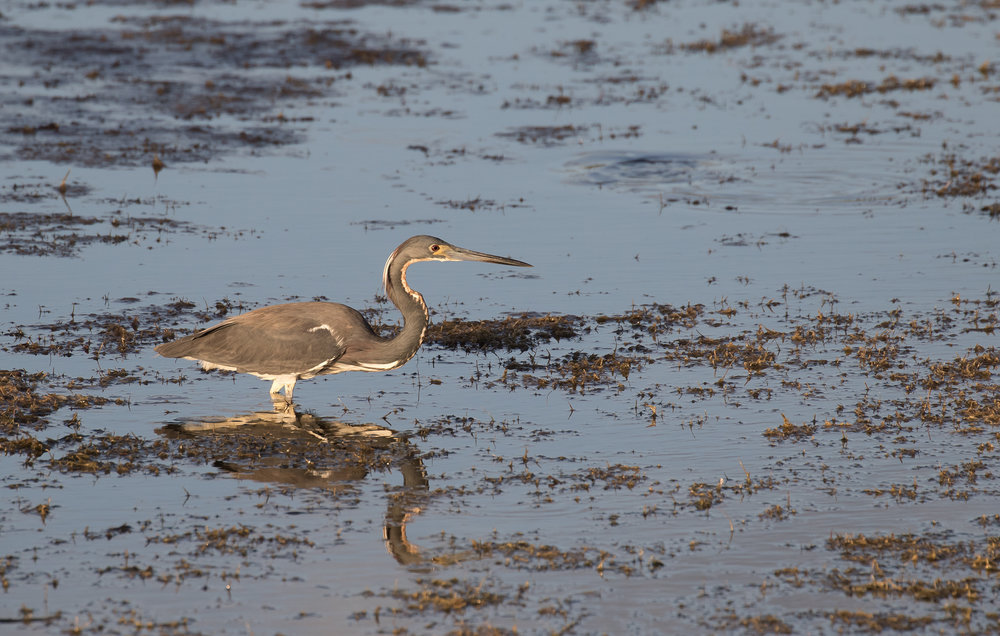 Adult Tricolor Heron