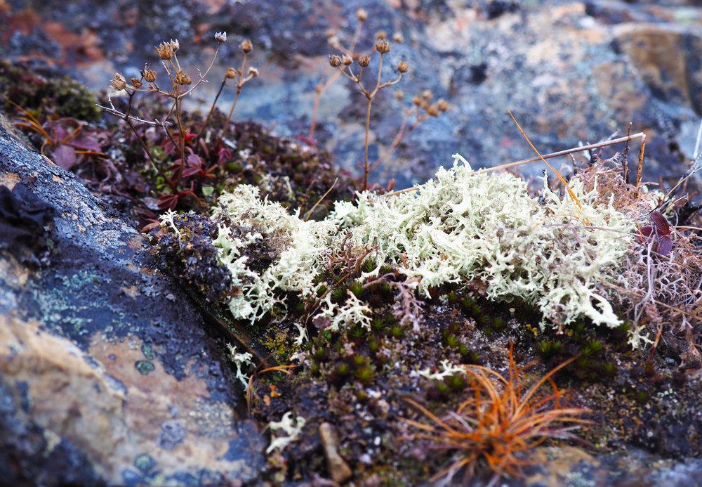 Caribou Moss_March.jpg