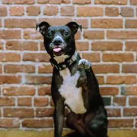benny-pitbull