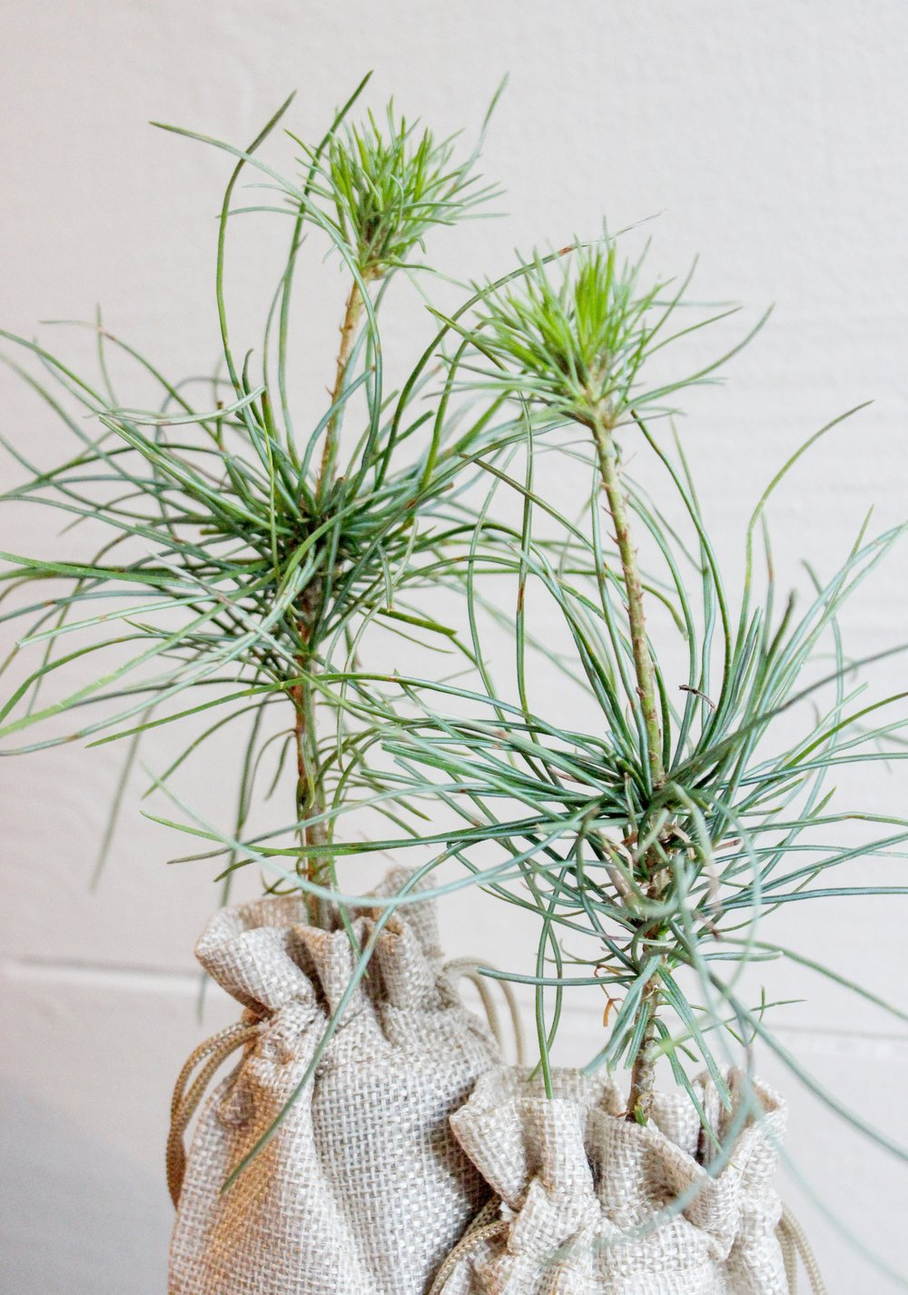 Little Saps - White Pine