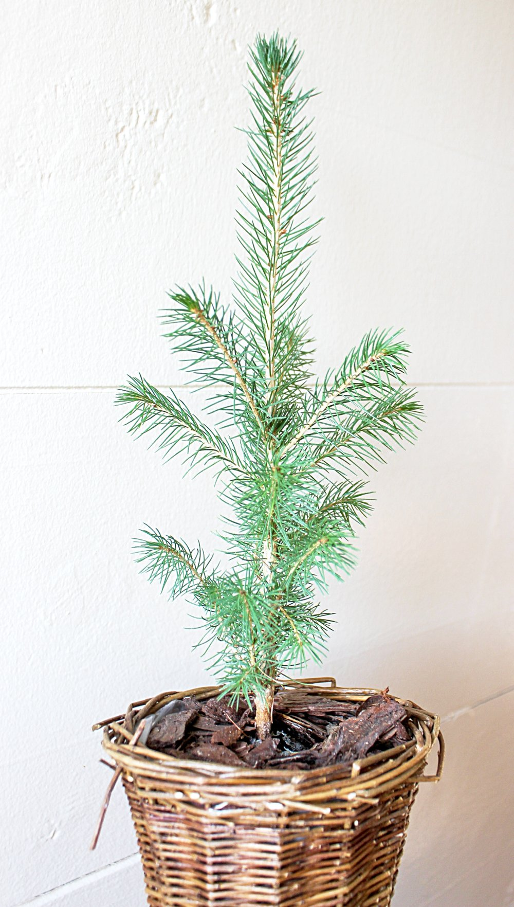 Little Saps - Norway Spruce