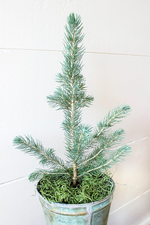 Little Saps - Blue Spruce