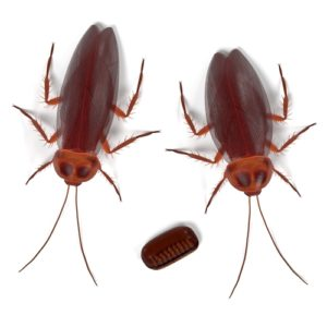 american-cockroaches-control-houston-300x300.jpg
