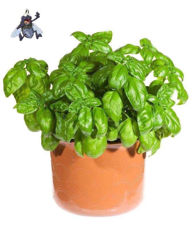 Basil-and-Fly.jpg