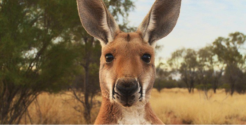 Kangaroo: A     Love Hate     Story  - 7 July -   2pm   National treasure or common pest? This fascinating documentary delves into Australia's relationship with its most recognised native emblem. Drawing on interviews with conservationists, politicians, and farmers, as well as some amazing archival footage, this film builds a riveting picture of one nation's struggle with its most iconic animal.  Buy tickets
