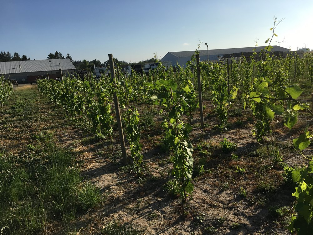 These vines, planted in 2016, are the first part of the planned Willig Vineyard. With the completion of the 2018 plantings, the Willig Vineyard will
