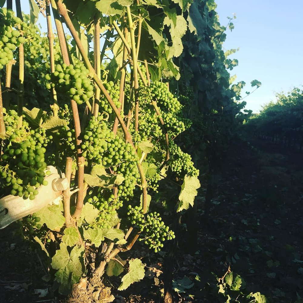 This photo was taken in the morning, when grapes get the first of the day's nourishing sunlight. As nice as these past few warm weeks have been for us, the grapes appreciate them even more—they basically eat sunlight, after all.
