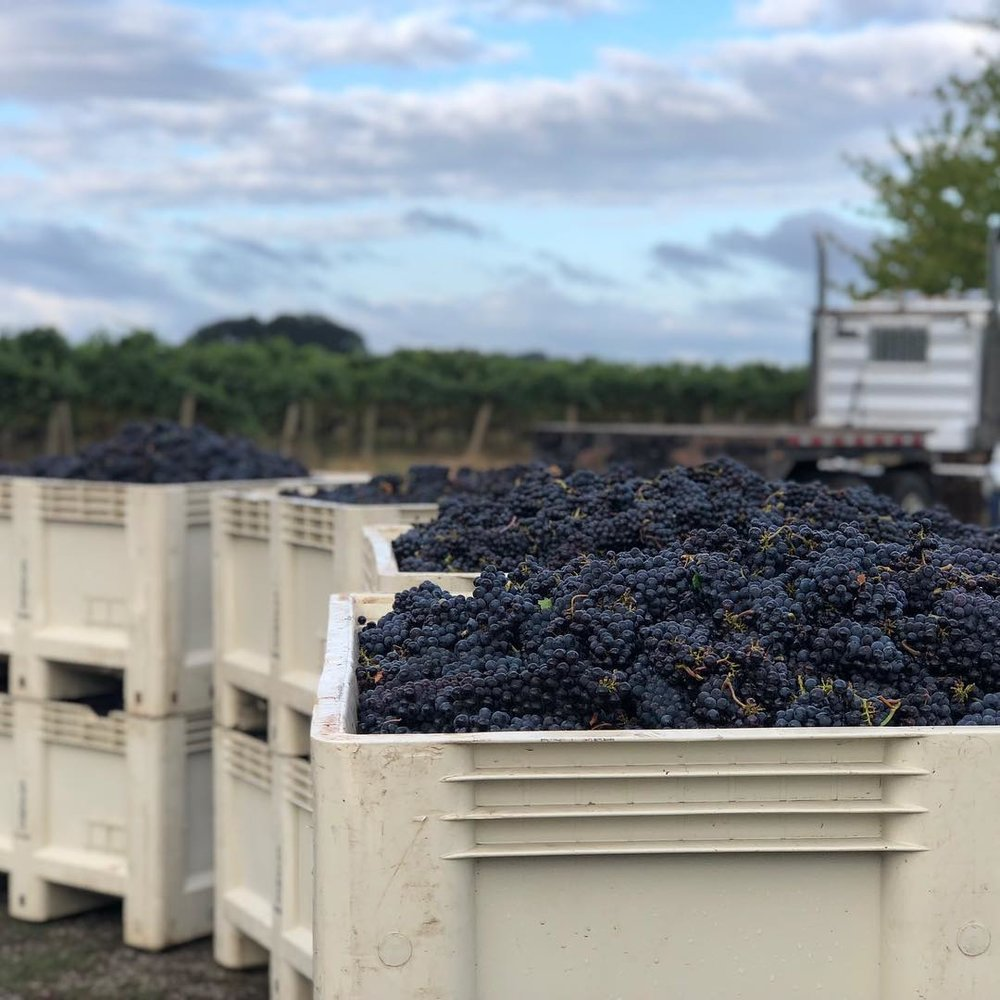 These bins of hand-picked Pinot Noir represent the first step in a long process of harvesting this year's grape crop.