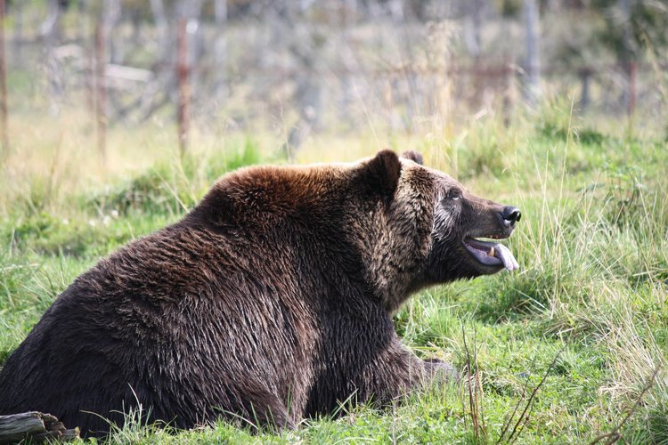 Get within 5 metres of the largest Grizzlies on earth.