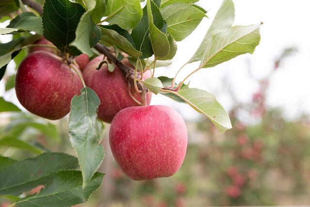 apples_medium.jpg