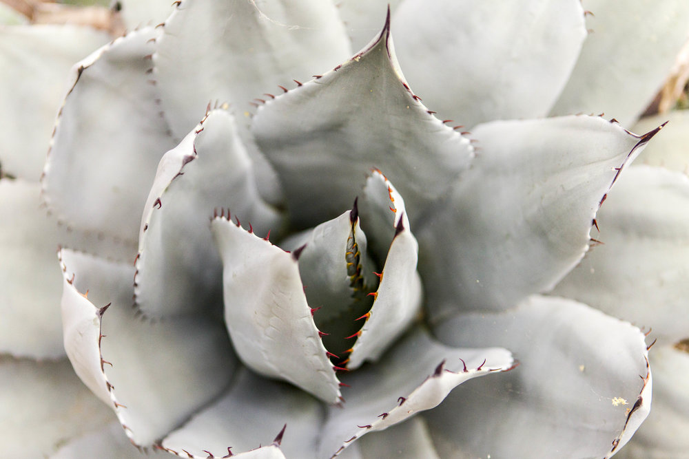 _L6H0288_agave_sized.JPG