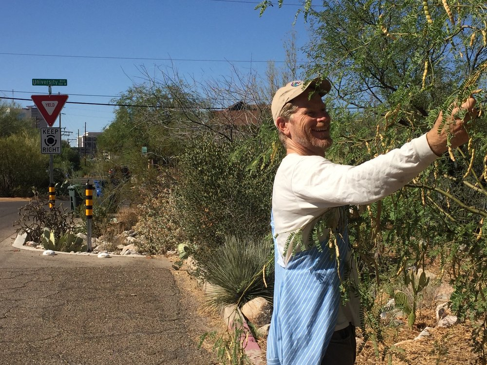 Brad Lancaster harvesting mesquite pods from rainwater-irrigated street trees Photo by jaime chandler.jpg