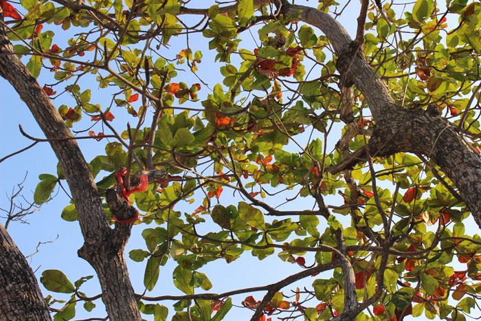 islandtree