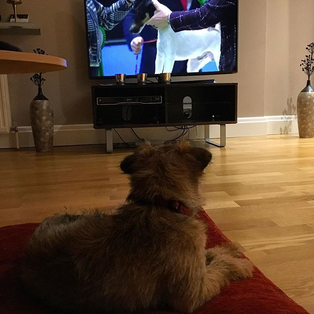 Pickle watching the Terrier group at Crufts.......she is giving it a deep growl