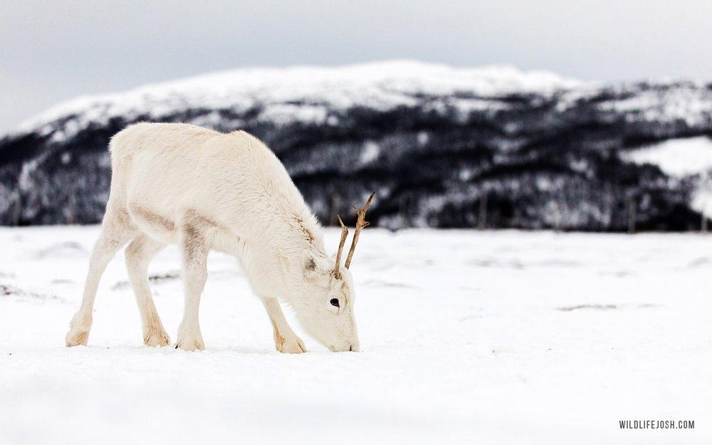 wildlifejosh_arctic_reindeer-min.jpg