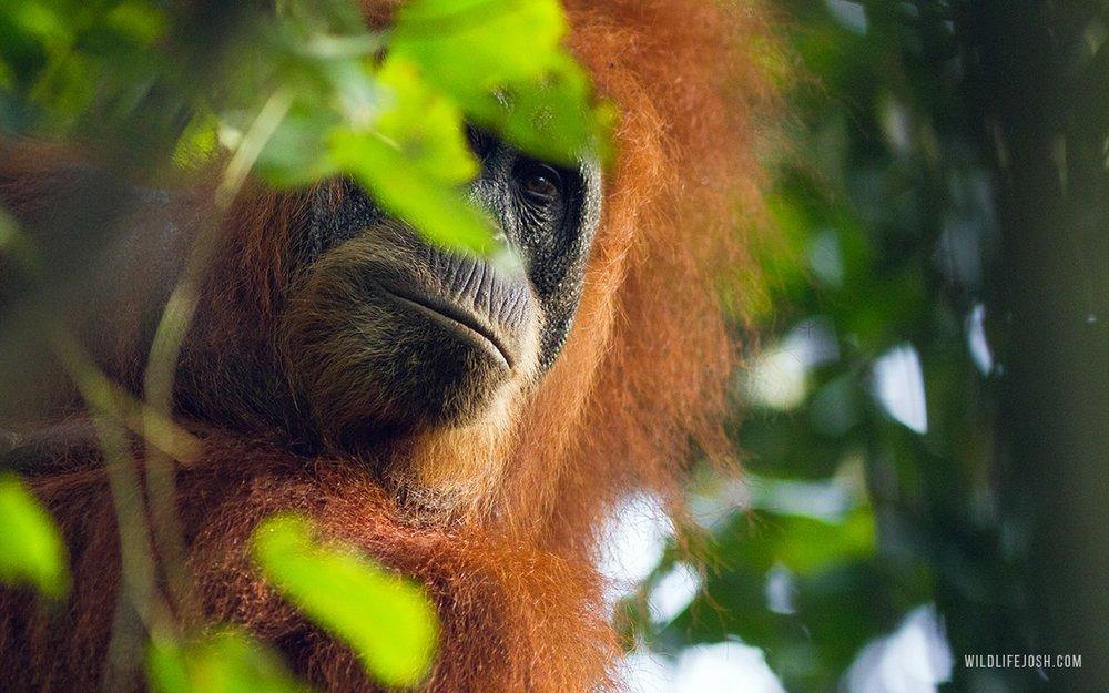 wildlifejosh_sumatran_orangutan_eyecontact-min.jpg
