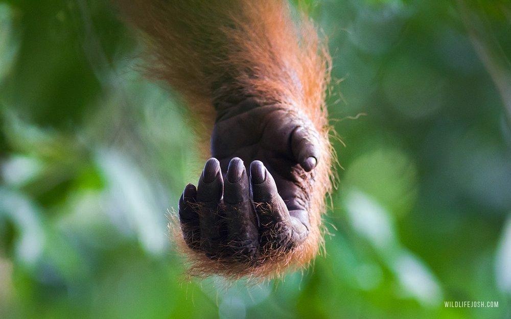 wildlifejosh_sumatran_orangutan_hand-min.jpg