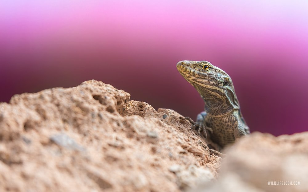 wildlifejosh_tenerife_lizard_bougainvillea-min.jpg