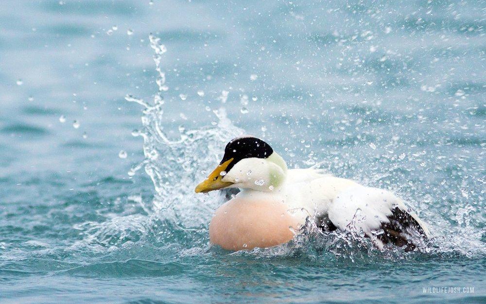 wildlifejosh_eider_duck-min.jpg