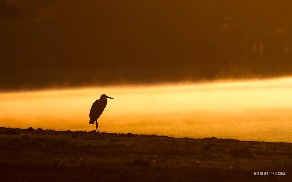 wildlifejosh_goliath_heron_sunrise-min.jpg