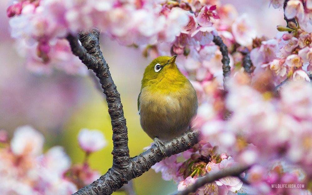 wildlifejosh_japanese_whiteeye-min.jpg